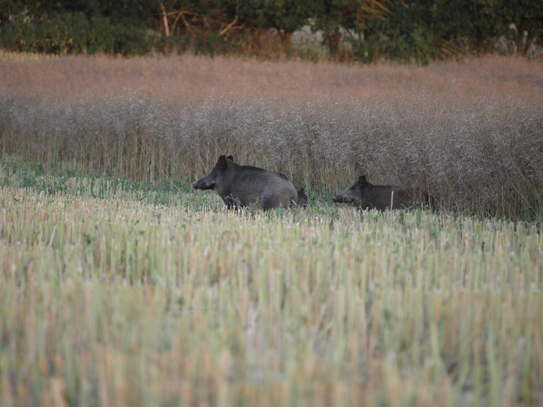 Wildschaden vermeiden - Das perfekte Revier von Hubert Witt Sauen Wildschwein Jagd Jägermagazin hunting wildboar