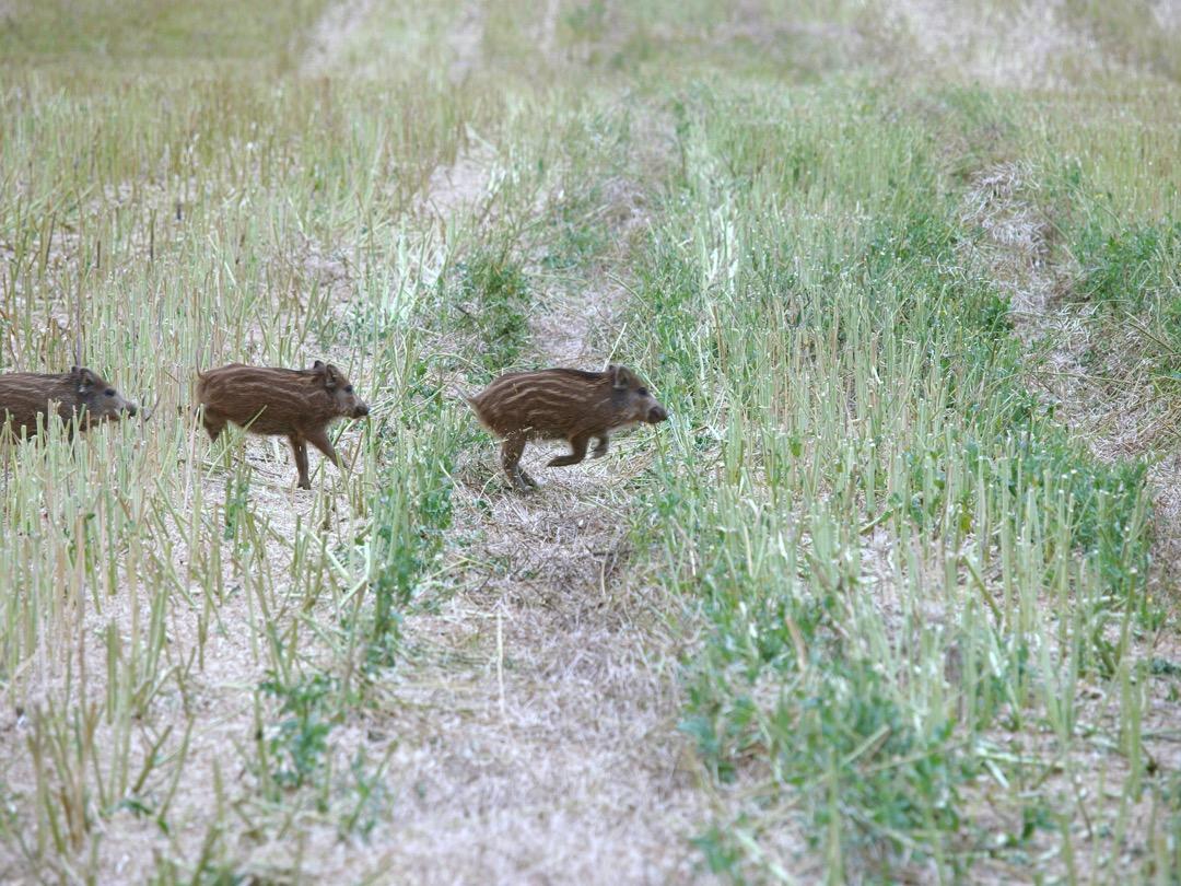 60.000 Sauen in NRW erlegt Sauen Wildschwein Jagd Jägermagazin hunting wildboar