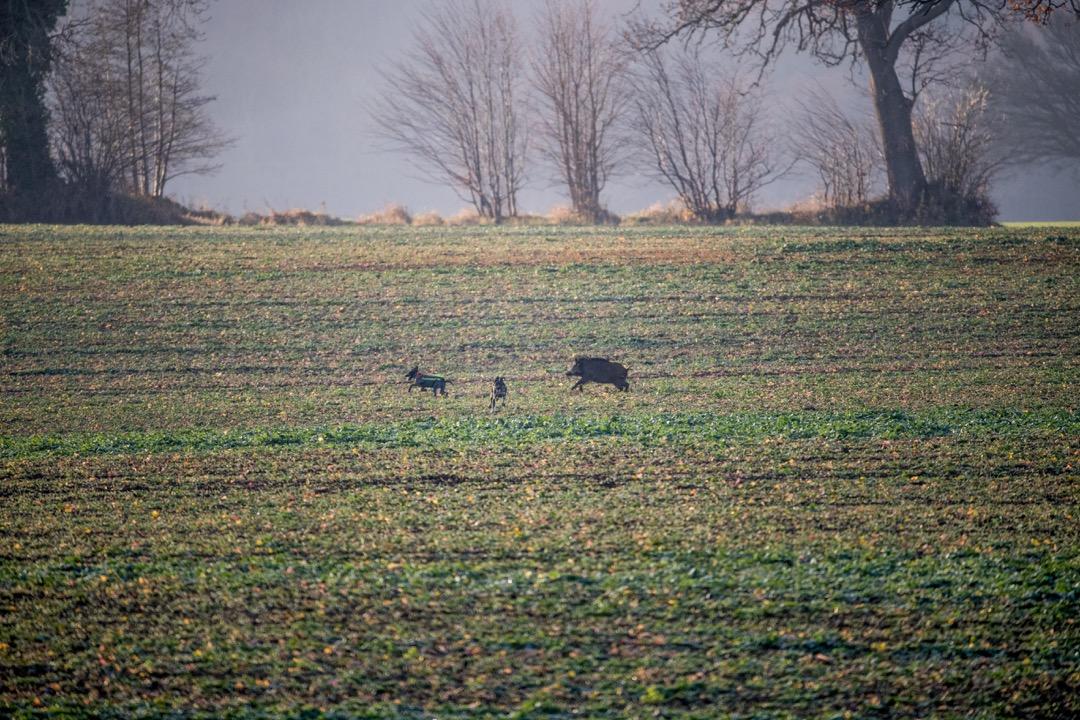 Abschussprämie für Schwarzwild Sauen Wildschwein Jagd Jägermagazin hunting wildboar