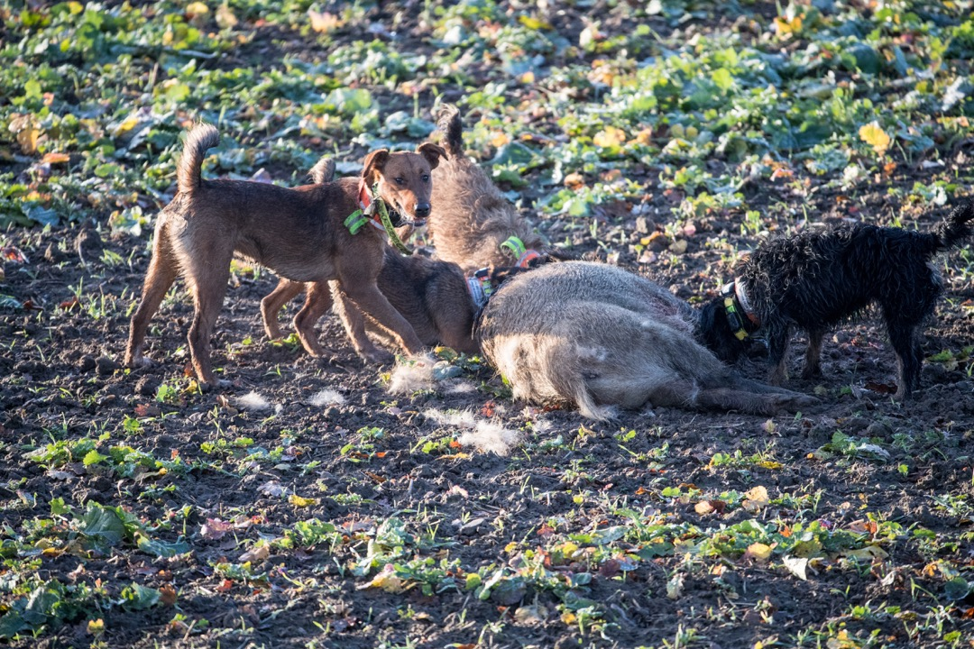 Sauen Wildschwein Jagd Jägermagazin hunting wildboar