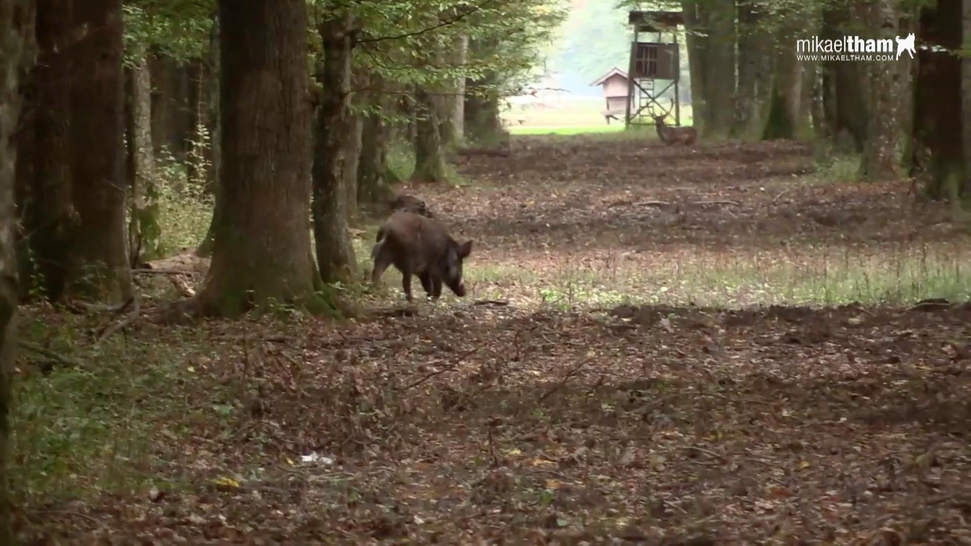 Pirsch auf Sauen in Kroatien - JÄGER Prime