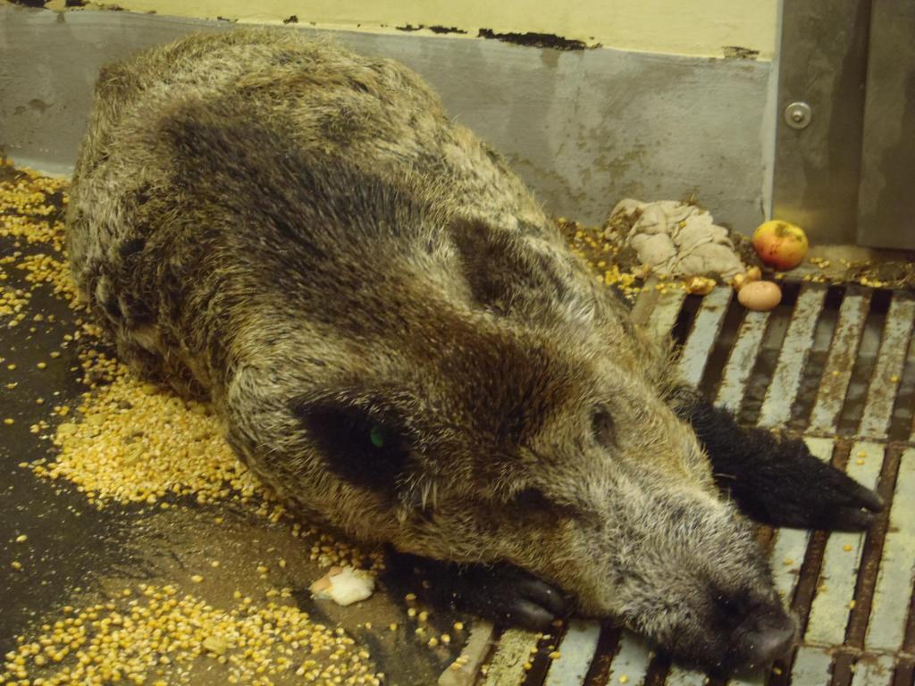 An der afrikanische Schweinepest (ASP) erkranktes Wildschwein (Quelle: FLI)